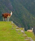 Lama che orina liberamente sul terrazzo agricolo di Machu Picchu Inca Citadel, Cusco, Perù fotografia stock libera da diritti