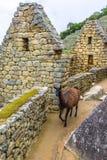 Lama che pasce alle rovine di inche di Machu Picchu- nelle Ande, regione di Cuzco Immagine Stock