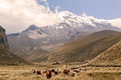 Lama che pascono, vulcano di Chimborazo, Sudamerica Fotografia Stock Libera da Diritti