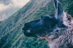 Lama che pensa nelle montagne delle Ande peru Il Sudamerica Fotografia Stock