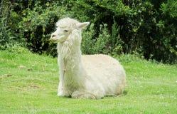 Lama che si trova sull'erba verde Fotografia Stock Libera da Diritti