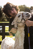 Lama che tosa di un'alpaga, Nuova Zelanda Immagini Stock