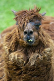 A lama chewing gum Stock Image