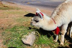 Lama. From the city of Cusco Royalty Free Stock Photos