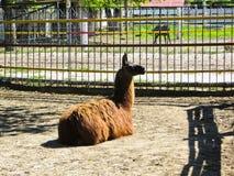 Lama at the zoo. Lama at the city zoo Stock Photo