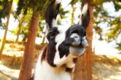 Lama close up. Stock Photos