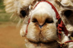 Lama Close Up Stock Images