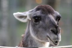 Lama. Close-up portrait of a Lama royalty free stock photo