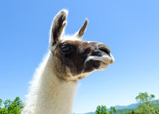 Lama. Closeup against the blue sky and mountains Stock Images