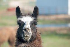 Lama closeup Stock Images