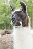 Lama Closeup Royalty Free Stock Image