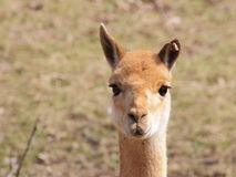 Lama closeup portrait Stock Image