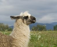 Lama in cloudy ambiance Stock Photography