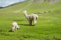 Lama con il bambino su erba verde Immagine Stock Libera da Diritti