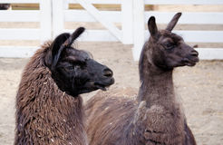 Lama couple pose at the zoo Stock Images