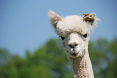Lama curious Royalty Free Stock Photos