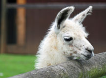 Lama. Curious White lama at a fence Royalty Free Stock Photo