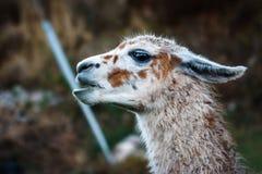 Lama, Cusco, Peru zdjęcie stock