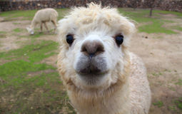 Funny lama in Chile Stock Photos
