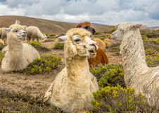 Lama da alpaca do deserto do Peru Fotos de Stock Royalty Free