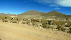 Lama dans Altiplano La Bolivie, Amérique du Sud photo libre de droits