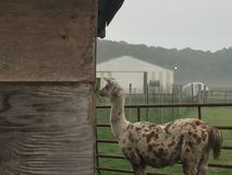 Lama dans la brume Photographie stock libre de droits