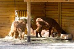 Lama dans la volière ouverte images stock
