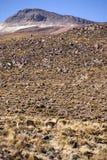 Lama dans le désert d'Atacama Photographie stock