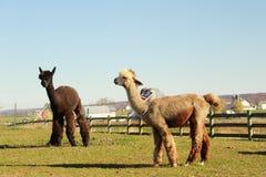 Lama dans le pays amish Photographie stock