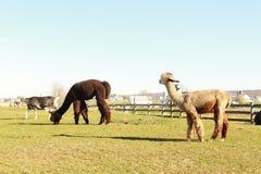 Lama dans le pays amish Images stock