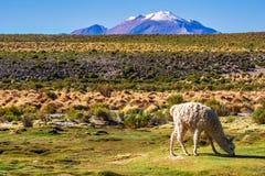Lama dans le paysage de montagne de l'Altiplano en Bolivie Photographie stock libre de droits