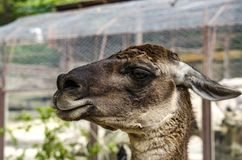Lama dans le profil photographie stock