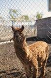Lama dans le zoo images libres de droits