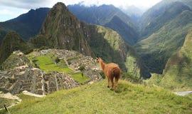 Lama dans Macchu Picchu, Pérou, Amérique du Sud Image stock