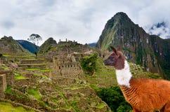 Lama dans Machu Picchu, site de patrimoine mondial de l'UNESCO Photos stock