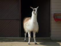 Lama. Darica zoo in istanbul Stock Photos