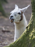 Lama with dark nature background Royalty Free Stock Photo