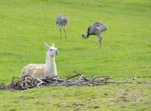 Lama, das auf Woodpile dem Nennen liegt Lizenzfreies Stockbild