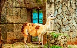 Lama, das Gras auf Steinhintergrund isst stockfotos