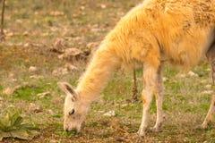 Lama, das Gras heraus in der Natur isst Stockfoto
