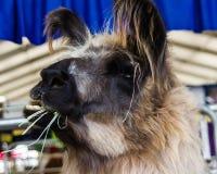 Lama, das Gras isst oder kaut Lizenzfreie Stockfotos