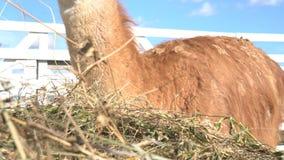 Lama, das Gras oder Heu am Zoo, braun-mit Pelz besetzt Lama am Zoo isst stock footage
