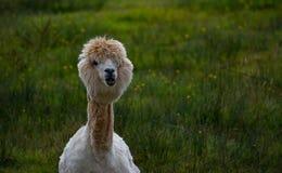 Lama, das mit Blick der Intrige aufwirft lizenzfreie stockfotografie