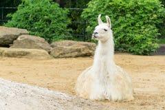 Lama, das sich hinsetzt lizenzfreies stockfoto
