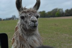 Lama, das uns betrachtet Lizenzfreies Stockbild