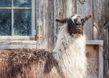 Lama davanti ad un granaio immagine stock
