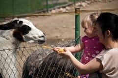 Lama de alimentação do jardim zoológico Fotografia de Stock Royalty Free