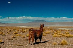 Lama de Brown en la Laguna Colorada, Bolivia imágenes de archivo libres de regalías