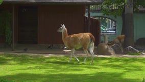 Lama de Guanaco dans le zoo banque de vidéos