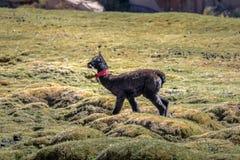 Lama del bambino in altiplano di Bolivean - dipartimento di Potosi, Bolivia Immagine Stock Libera da Diritti